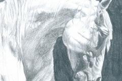 Arab-horse-pencil-drawing-emily-dewsnap-art