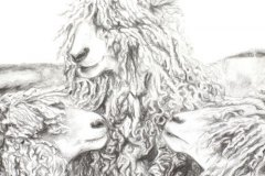 Woolly-sheep-pencil-drawing-emily-dewsnap-art
